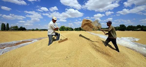 Buğdayın alım fiyatı belirlendi